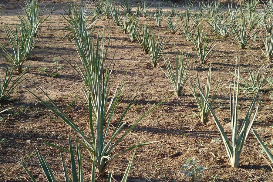 Planting agave at Rancho La Colorada