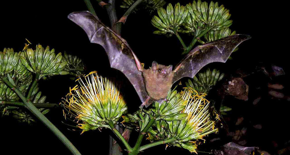 Bat Pollination agave flowers