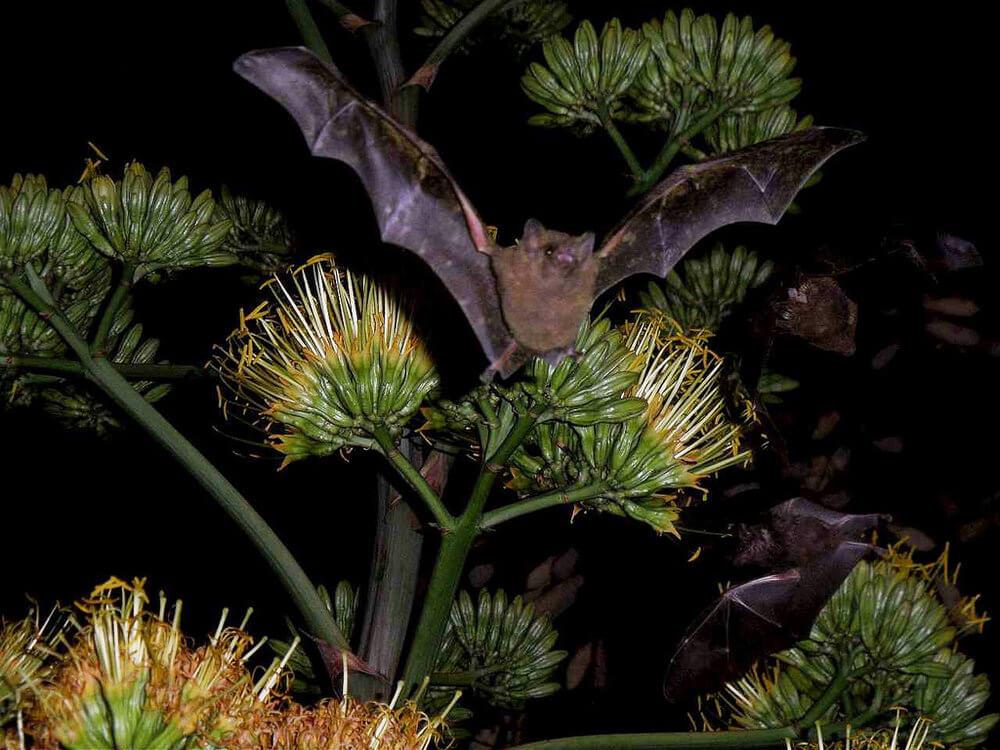 Bat Pollination agave
